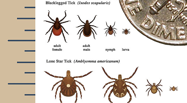 Bed Bug Life Cycle Timeline Animal Kid